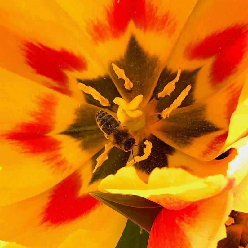 Biene in Blüte