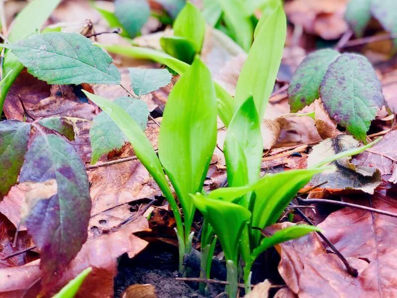 Frische Bärlauchpflanze im Wald zwischen Laub