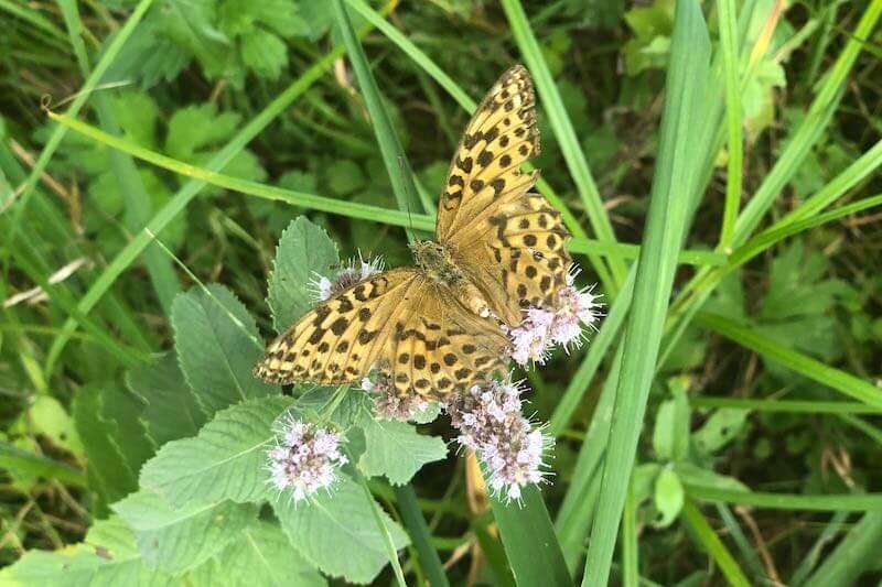Schmetterling von oben, hat die Form einer Schilddrüse