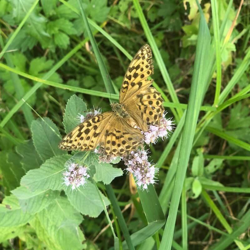 Schmetterling quadratisch