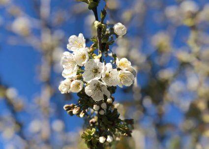 Frühling Corona Blüte