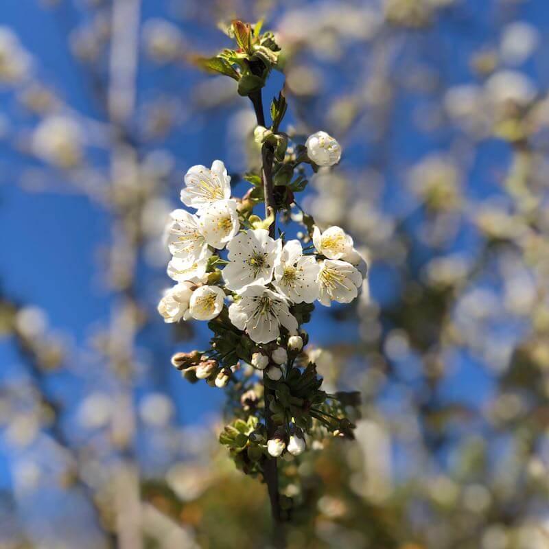 Corona Hoffnung Frühling quadratisch